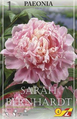 Pfingstrose Sarah Bernhardt
