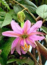 Passiflora Curuba