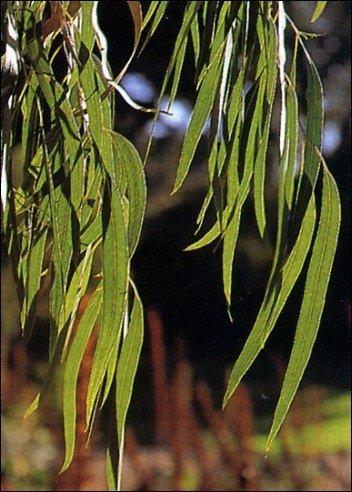 Zucker-Eucalyptus