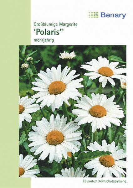 Margerite 'Polaris®', mehrjährig