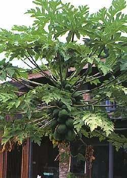 Tropischer Melonenbaum / 30 Samen