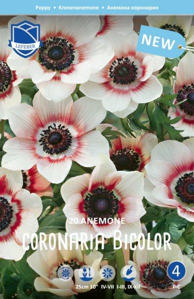 Anemone Bicolor