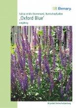 Staudensalbei Oxford Blue