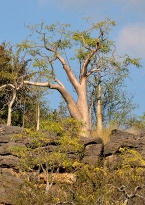 Moringa Geisterbaum