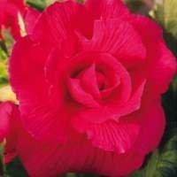 Rosa gefüllt grossblumig St.