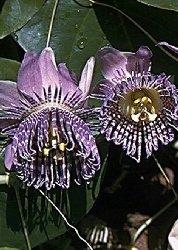 Passiflora Granadilla