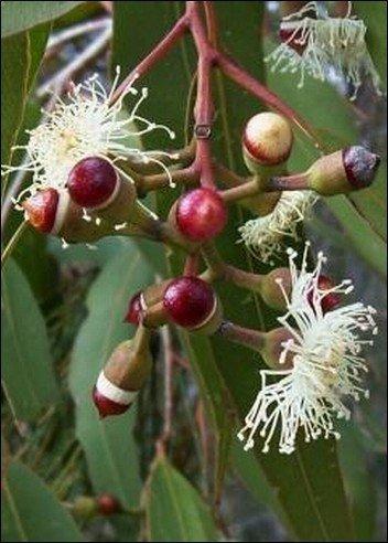 Zitronen-Eucalyptus