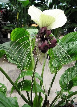 Fledermausblume Nepalesische Riesen